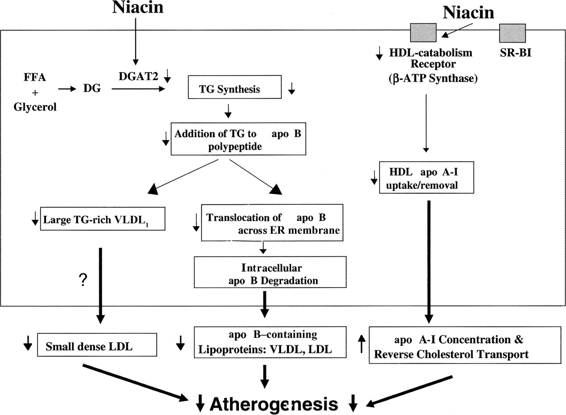 Mechanism Of Action Of Niacin American Journal Of Cardiology